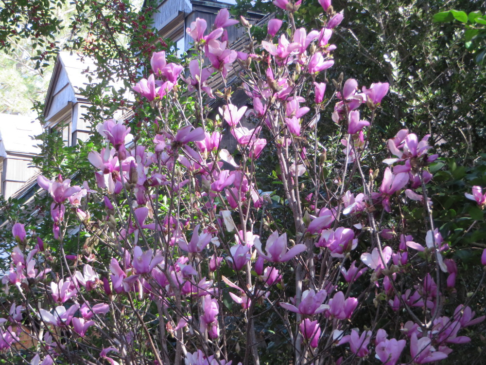 Azalea Trail Tulip Tree