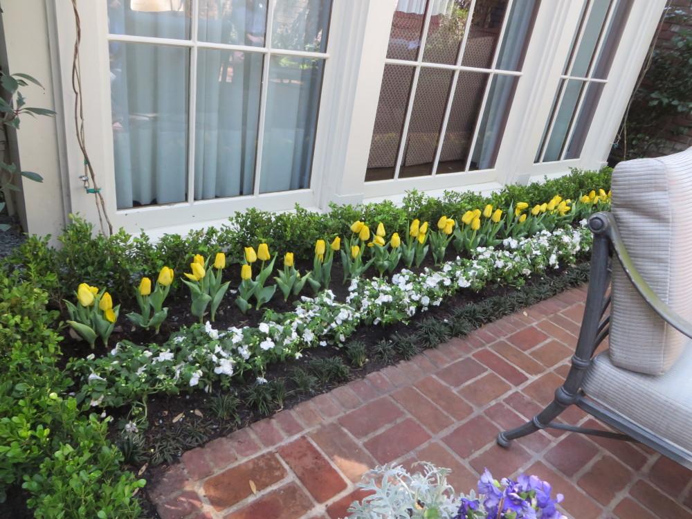 Azalea Trail Yellow Tulips