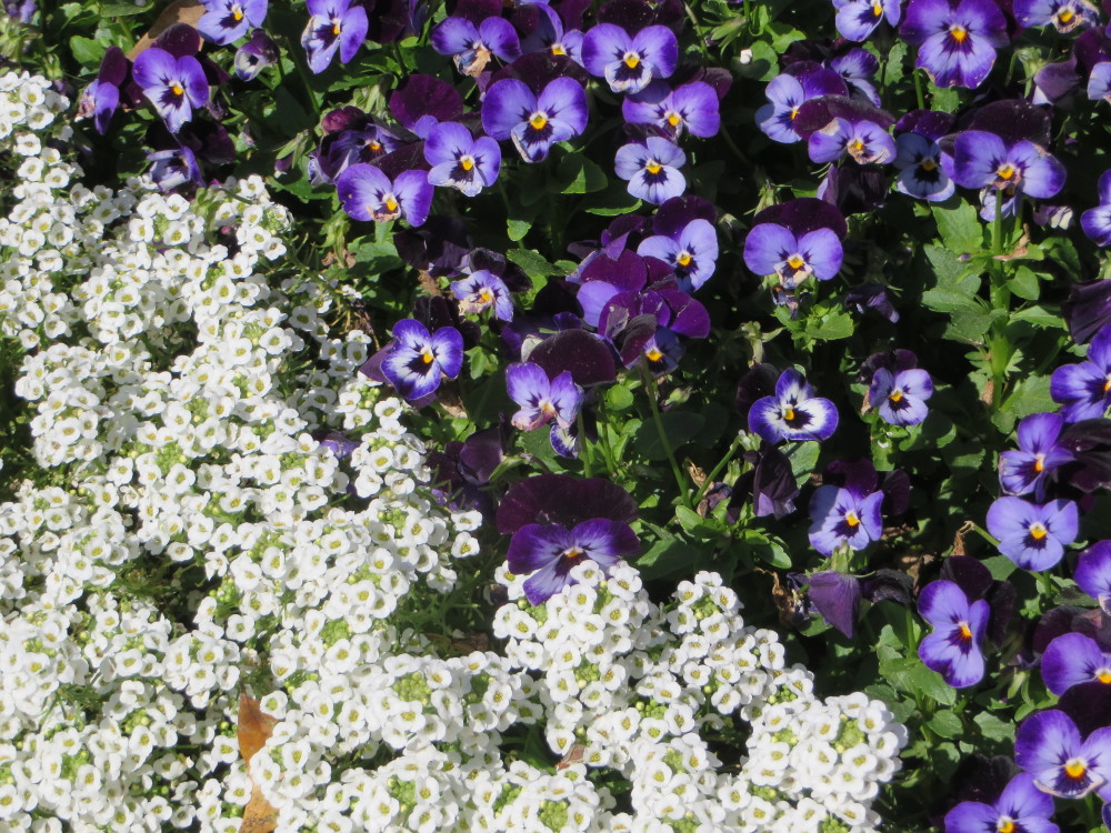 Alyssum and Purple Flowers