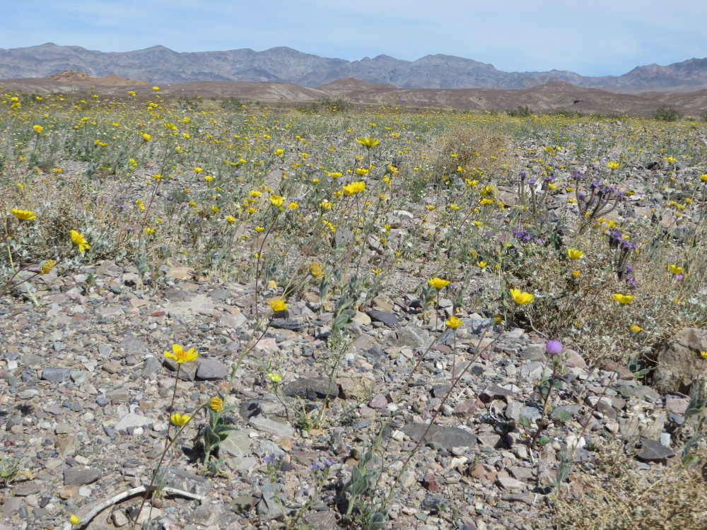 Death Valley National Park Spring Wildflowers