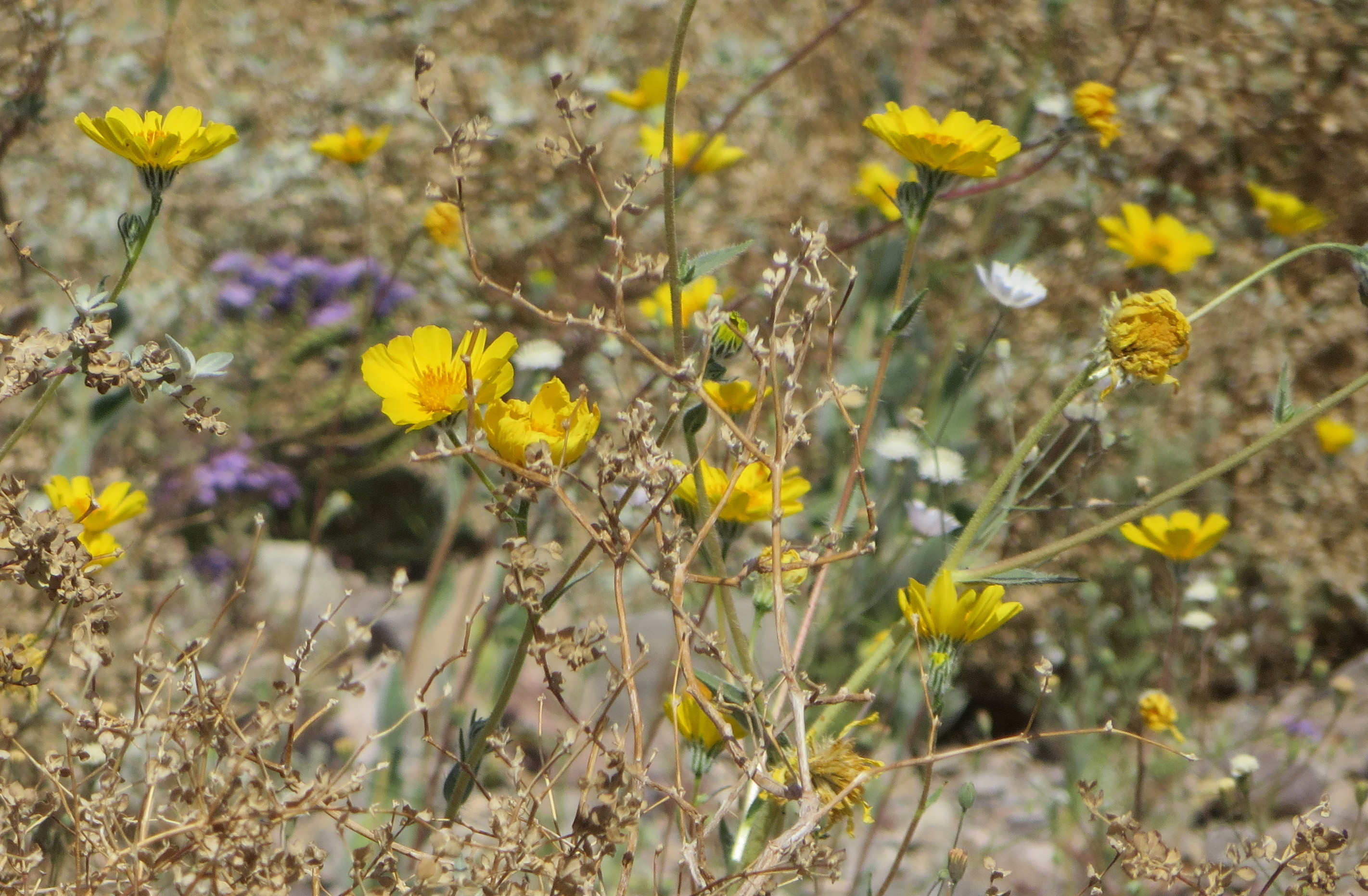 Death Valley National Park Wildflowers
