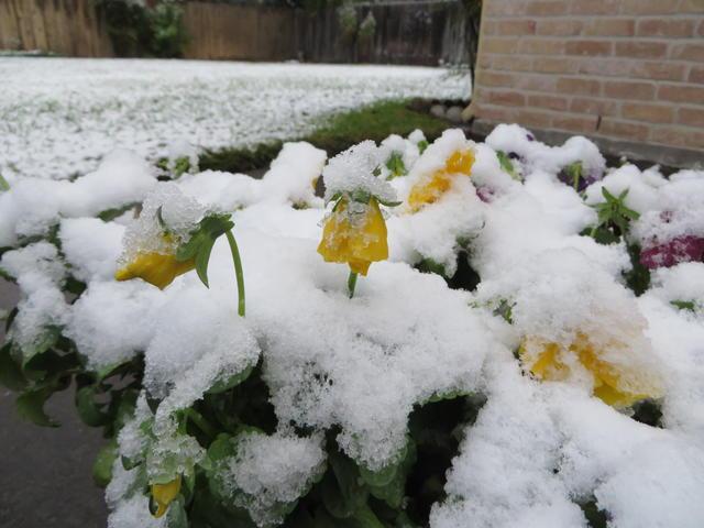 Houston Snow on Pansies