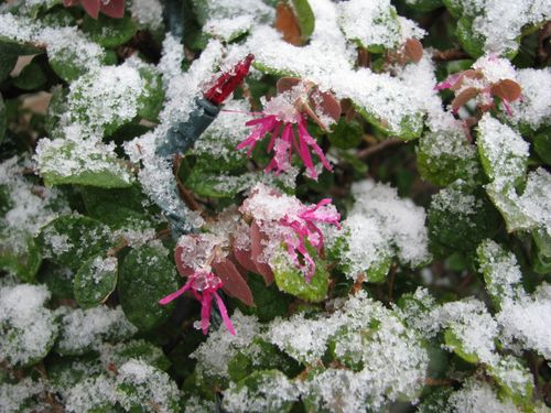Snow in Houston on bushes
