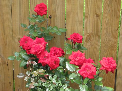 Real Red Rosebush