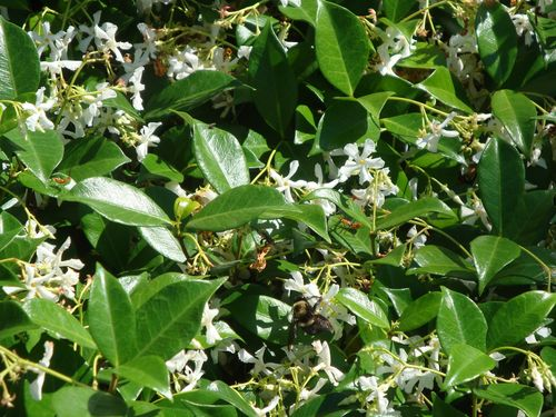 Star Jasmine and Bee